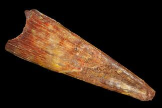 "Buy 1.39"" Fossil Pterosaur (Siroccopteryx) Tooth - Morocco - #127690"
