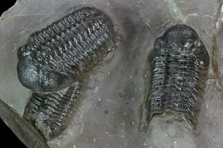 Buy Cluster Of Three Austerops Trilobite - Jorf, Morocco - #127726