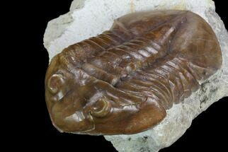 Subasaphus laticaudatus - Fossils For Sale - #127839