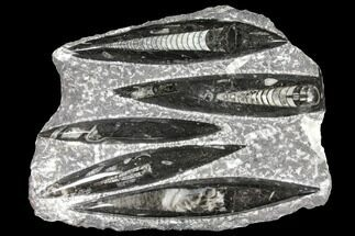 "9"" Polished Fossil Orthoceras (Cephalopod) Plate - Morocco For Sale, #127709"