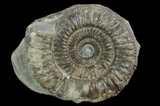 "Buy 2.3"" Ammonite (Dactylioceras) Fossil - England - #127483"