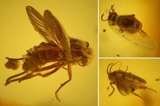 Fossil Beetle (Coleoptera) & Two Flies (Diptera) In Baltic Amber For Sale, #128318