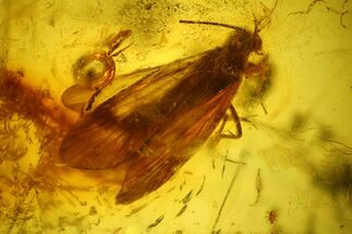 Buy Detailed Fossil Caddisfly (Trichopterae) In Baltic Amber - #128332