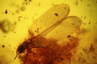 Buy Detailed Fossil Termite (Isoptera) & Flies (Diptera) In Baltic Amber - #128335