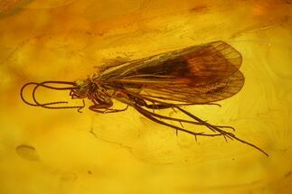 Buy Detailed Fossil Caddisfly (Trichopterae) In Baltic Amber - #128338