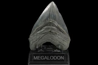 "5.19"" Fossil Megalodon Tooth - South Carolina For Sale, #128312"
