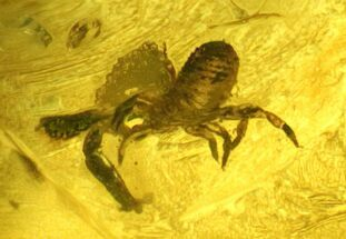 Buy Fossil Pseudoscorpion (Arachnid) Preserved In Baltic Amber - #128296
