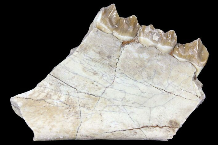 "3"" Oreodont (Merycoidodon) Jaw Section - South Dakota"