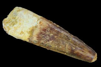 "Buy 2.54"" Spinosaurus Tooth - Real Dinosaur Tooth - #127615"