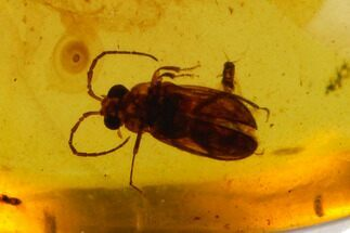 Detailed Fossil Beetle (Coleoptera) In Amber - Myanmar For Sale, #128888