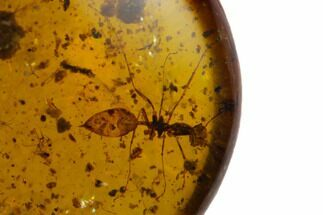 Buy Fossil Ant (Formicidae) and a Beetle (Coleoptera) in Amber - Myanmar - #129013