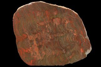 "4.2"" Polished Stromatolite (Inzeria) Section - 800 Million Years For Sale, #129179"