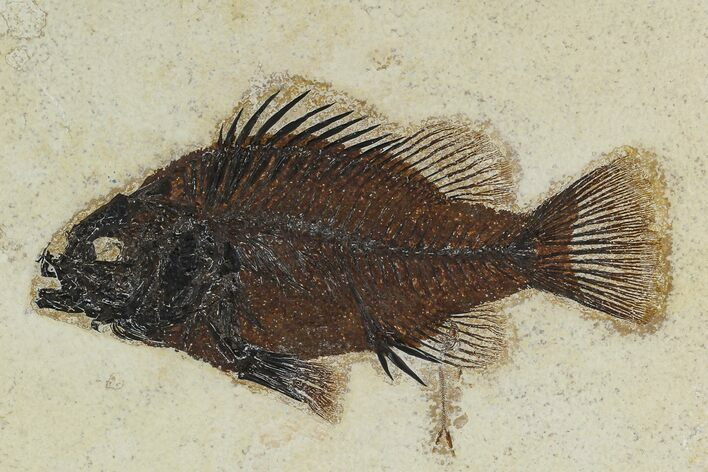 "6.6"" Fossil Fish (Priscacara) From Wyoming - Framed"
