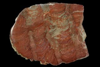 "Buy 2.9"" Polished Stromatolite (Inzeria) Slab - 800 Million Years - #129181"
