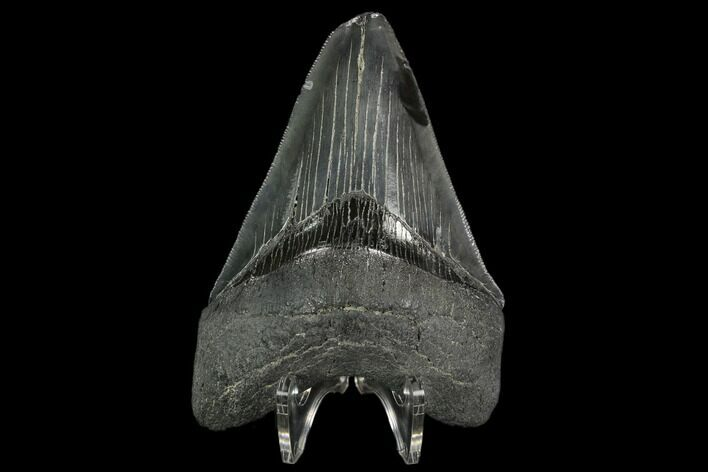 "Serrated, 4.09"" Fossil Megalodon Tooth - South Carolina"