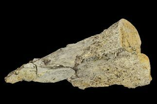 "Buy 1.8"" Fossil Pterosaur (Pteranodon) Phalange Section- Kansas - #115222"
