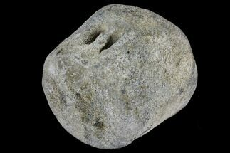 "5.2"" Fossil Whale Vertebra - Yorktown Formation For Sale, #129568"