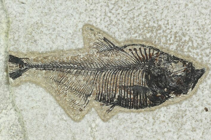 "Bargain 3.5"" Fossil Fish (Diplomystus) - Green River Formation"