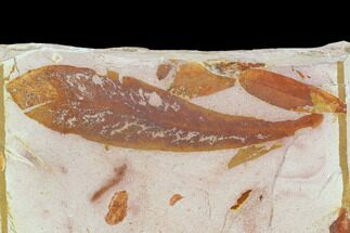Glossopteris browniana - Fossils For Sale - #129618