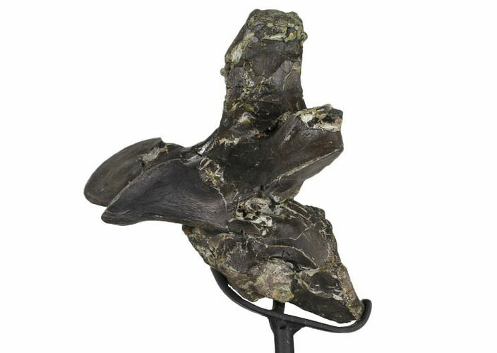 "6.1"" Tall, Tyrannosaur Cervical Vertebra - Two Medicine Formation"