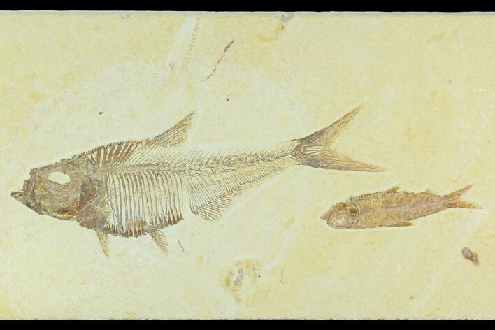 "5.75"" Diplomystus With Knightia Fossil Fish - Green River Formation"