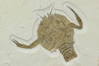 "4"" Eryon Crustacean - Solnhofen Limestone For Sale, #130604"