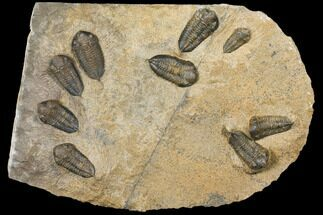 "12.5"" Plate Of Nine Sokhretia? Trilobites - Erfoud, Morocco For Sale, #130412"
