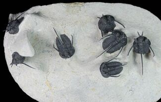 Cyphaspis walteri - Fossils For Sale - #130605