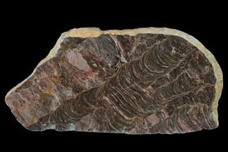"5.2"" Polished Stromatolite (Inzeria) Slab - 800 Million Years For Sale, #130616"