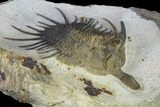 "3.3"" Psychopyge Trilobite With Short (Bitten?) Genal Spines - #131288-3"