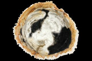 "Buy 9.5"" Tropical Hardwood Petrified Wood Dish - Indonesia - #131449"