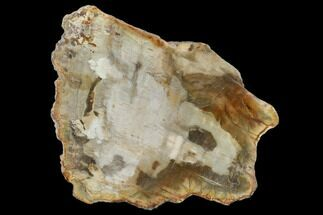 "Buy 4.7"" Petrified Wood (Araucaria) Slab - Madagascar  - #131455"
