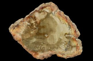 "Buy 4.8"" Petrified Wood (Araucaria) Slab - Madagascar  - #131482"