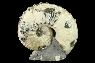 Hoploscaphities (Jeletzkytes) spedeni - Fossils For Sale - #131226