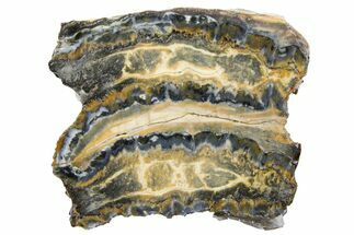 "1.4"" Mammoth Molar Slice With Case - South Carolina For Sale, #130691"