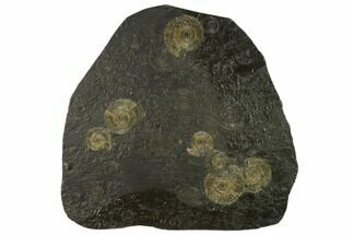 "10.4"" Ammonite Cluster (Dactylioceras) - Germany For Sale, #131930"