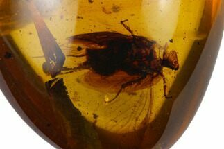 Fossil Cockroach (Blattodea) In Amber - Myanmar For Sale, #131978