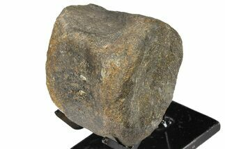 "Buy 2.6"" Hadrosaur (Gryposaur) Vertebra with Stand -Two Medicine Formation - #131989"