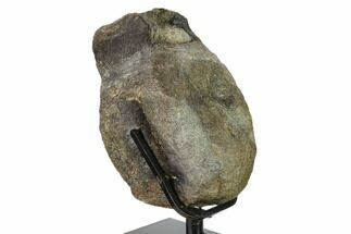 "6.1"" Hadrosaur (Hypacrosaur) Vertebra on Metal Stand - Montana For Sale, #132008"