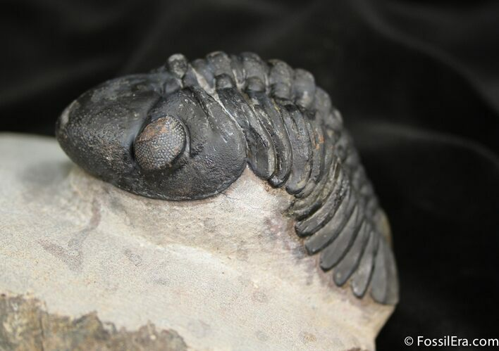 Big Arched Reedops Trilobite - 3.4 Inches