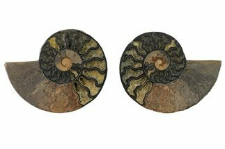 Cleoniceras - Fossils For Sale - #132234