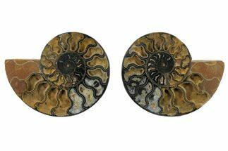 "6.1"" Split Black/Orange Ammonite Pair - Unusual Coloration For Sale, #132248"