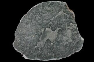 Alcheringa narrina - Fossils For Sale - #132402