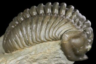 "Buy 1.2"" Long Flexicalymene Trilobite - Ohio - #132433"