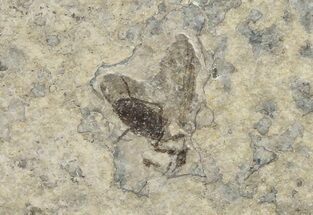 Plecia pealei - Fossils For Sale - #67647