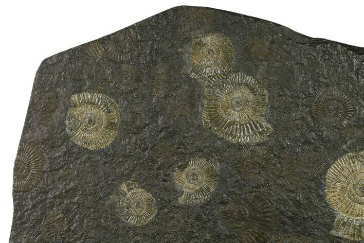 "9.4"" Ammonite Cluster (Dactylioceras) - Germany"