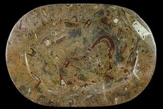 "Buy 13.1"" Fossil Orthoceras & Goniatite Oval Plate - Stoneware - #133570"