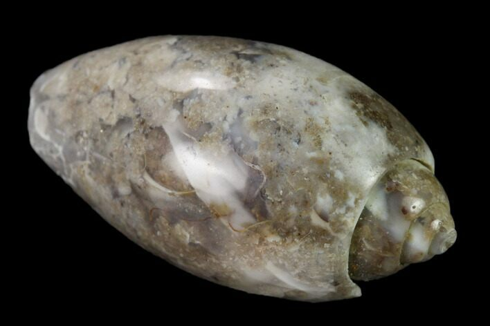 "1.1"" Polished, Chalcedony Replaced Gastropod Fossil - India"