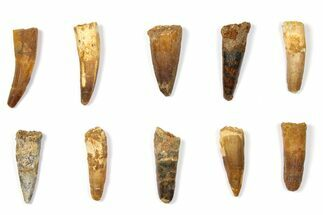"Wholesale Lot: 1.9 to 2.2"" Bargain Spinosaurus Teeth - 10 Pieces For Sale, #133400"