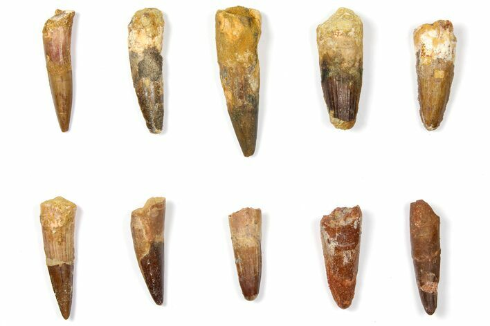"Wholesale Lot: 1.5 to 2.5"" Bargain Spinosaurus Teeth - 10 Pieces"